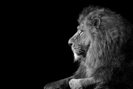 Lion king isolated on black, Portrait Wildlife animal