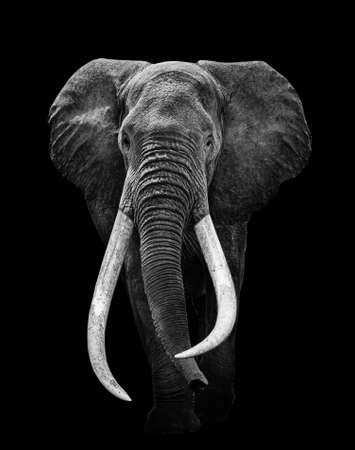 Elephant isolated black white, animal wildlife