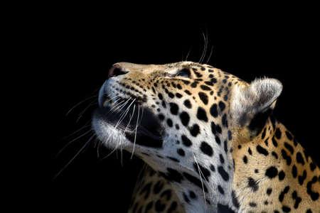 leopard wildlife, animal isolated