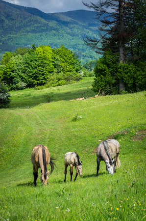 grazing horses on green mountain meadows, Slovakia photo