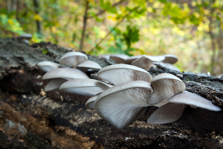 Edible mushrooms with excellent taste, Pleurotus ostreatus
