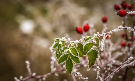 Winter detail on frostbitten wild rose-hips photo