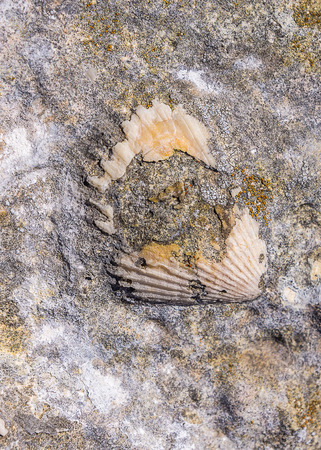 fossilized: Fossilized shell on the rocky coast of the Algarve, Portugal