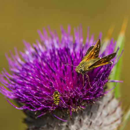 captured: Colored butterfly captured on a thistle. Autumn in meadow. Stock Photo