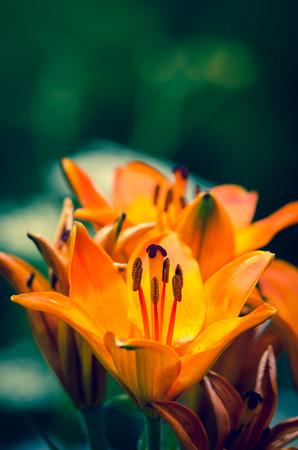 stargazer lily: orange lilies blooming in the garden