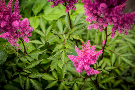 plumes: plumes of pink astilbe in the summer garden Stock Photo