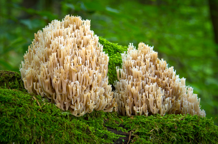 inedible: inedible fungus grows in forests, Central Europe, Artomyces pyxidatus