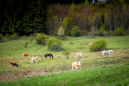 fense: Cows and horses in pasture. Mountain meadow. Brown mammal on a green grass.