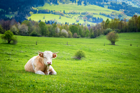 fense: Cow in pasture. Mountain meadow. Brown mammal on a green grass.