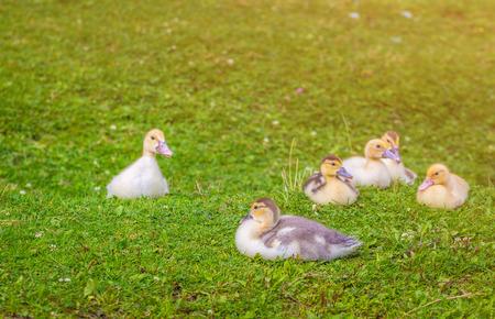 Newborn ducks on a green field. Pets in rural areas.