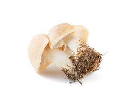 mycology: Bucnh of fresh Calocybe gambosa from woods on white background. Seasonal mushrooms.