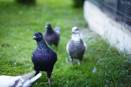 front facing: White and gray pigeons on the grass. The dove goes to the garden. Stock Photo