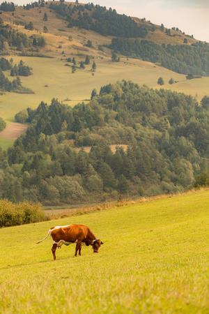 Domestic cow grazing on a mountain meadows.