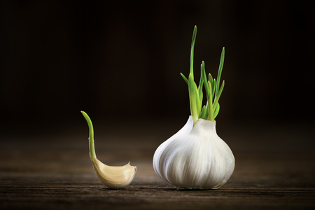 fresh garlic with green germinal sprout on rustical wooden table