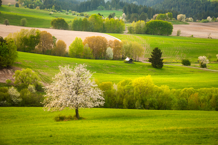 Fresh spring meadow with blossoming cherries. Green pasture on the central Slovakia.