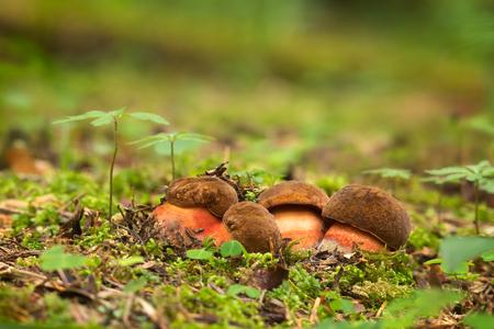 Neoboletus luridiformis. Edible mushrooms with excellent taste. Bio food. Uncultivated  fungi.