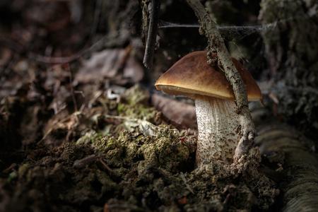 Leccinum pseudoscabrum, edible mushrooms with excellent taste