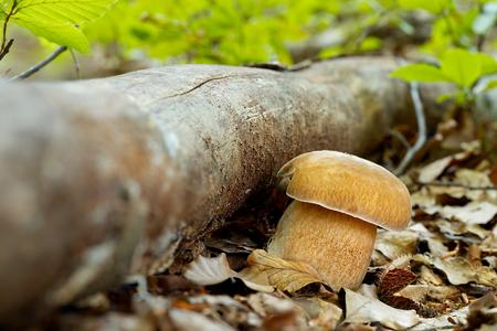 Boletus reticulatus. Edible mushrooms with excellent taste. Bio food. Uncultivated  fungi. Reklamní fotografie