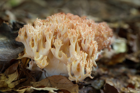 edible fungus grows in forests, Central Europe, ramaria botrytis