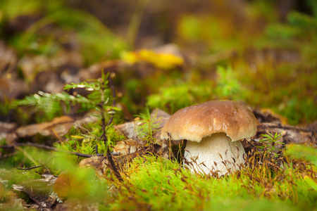 Boletus edulis, edible mushrooms with excellent taste