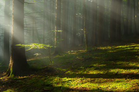 Beutiful morning sun rays in green woods. Reklamní fotografie