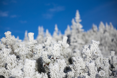 Pine covered with frost. Selective focus and pretty bokeh.