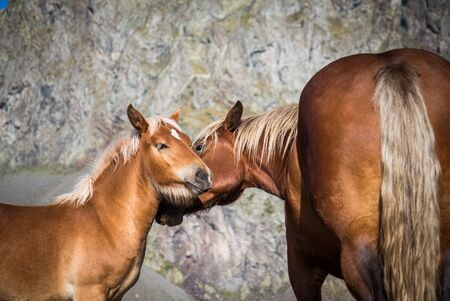 Wild horse caring for her puppy in the middle of the mountain in summer Banque d'images