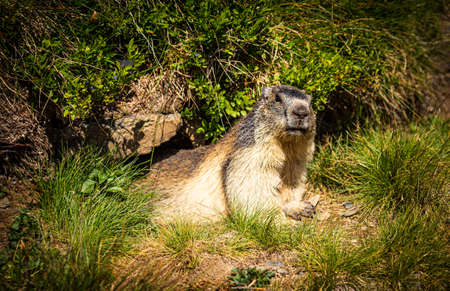 Marmot resting on a green meadow near his burrow and looking at the camera