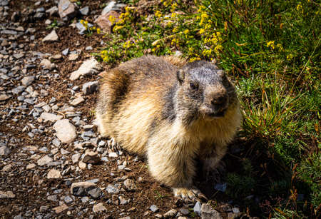 Cute marmot walking on a trail and looking at the camera 版權商用圖片