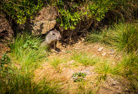 Cute little groundhog pup peeking out of its burrow Banque d'images