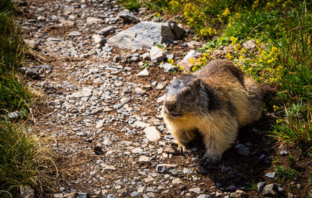 Curious marmot crossing a trail in summertime