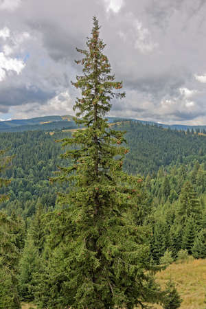 developement: fir tree with cones guarding the landscape in Paltinis Stock Photo