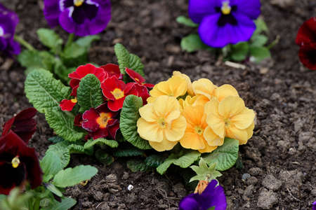 homeland: pansies in the homeland ground