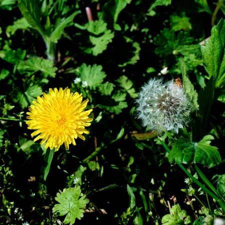 two generations: Dandelion two generations lawn mower fresh