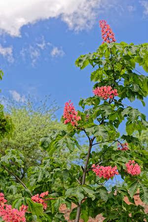 pinkish: Pinkish chestnut flower on branch on blue sky background
