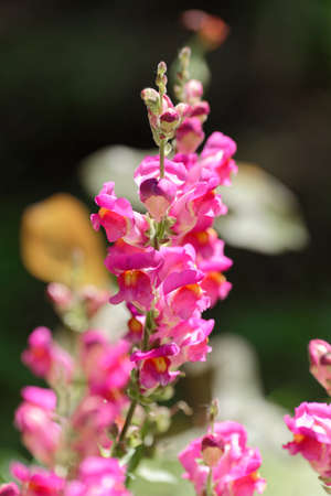 common snapdragon: Snapdragon flower magenta on blurry background in plain sun Stock Photo