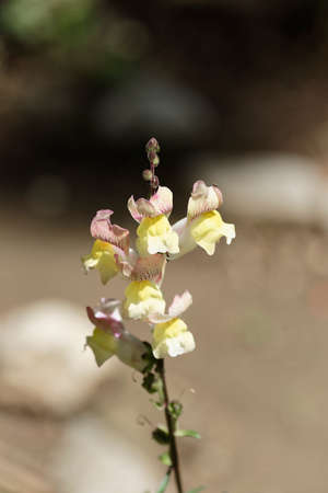 common snapdragon: Snapdragon flower yellow on a blurry background in plain sun Stock Photo