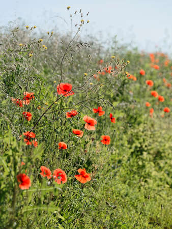poppy field rustic background Stock Photo