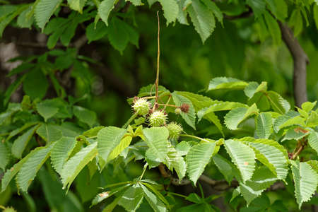 chestnut fruit on branch on green background