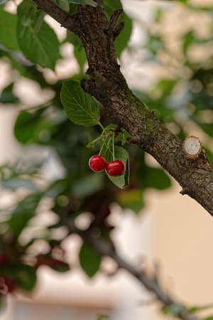 Cherry pair growing in a cherry tree branch
