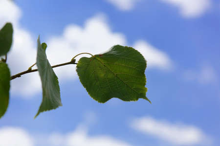 Linden Leaves on a blue sky Stock Photo