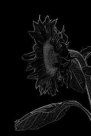 black and wgite graphic sunflower with bee on it