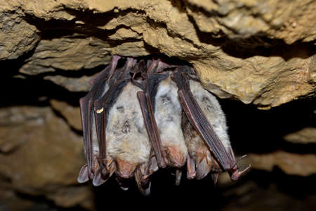 Groups of sleeping bats in cave  Myotis blythii