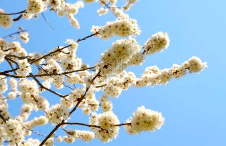 myrobalan: Prunus cerasifera flowers in a sunny day Stock Photo