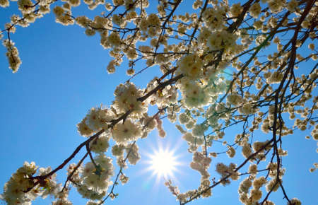 prunus cerasifera: Prunus cerasifera flowers in a sunny day Stock Photo