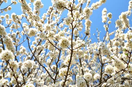 Prunus cerasifera flowers in a sunny day photo