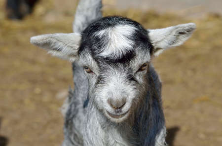 fidgety: Baby Goat portrait  Stock Photo