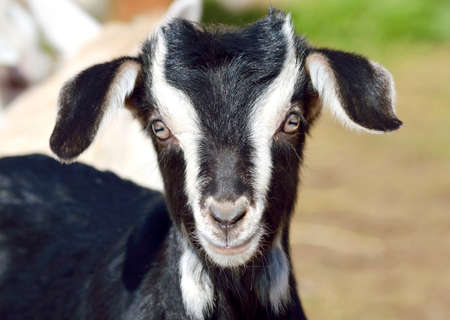 fidgety: Funny Baby Goat portrait  Stock Photo
