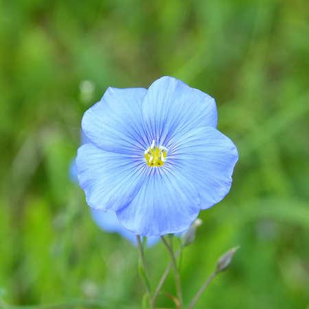 usitatissimum: Flax flower, Linum usitatissimum