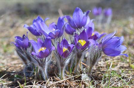 pasqueflower: Mountain Pasqueflower (Pulsatilla montana)